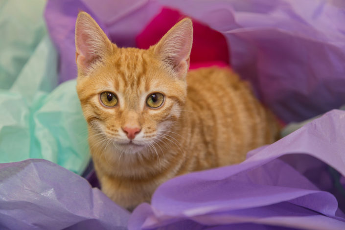 Orange Tabby Cat in colorful Tissue Paper