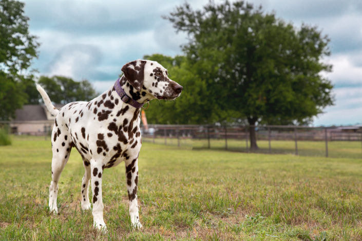 Denton Texas Pet Photographer Dalmation