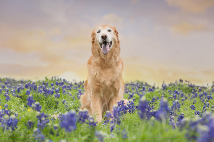 Golden Retriever Texas Bluebonnets
