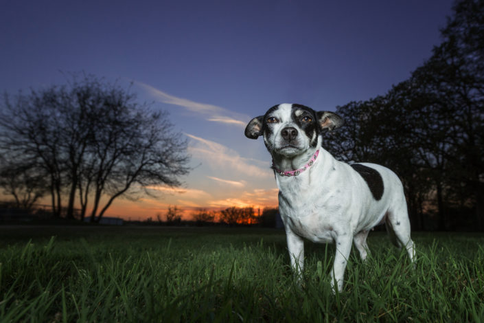 Twilight Photography, Sunset Pet Photography, Denton Texas Pet Photographer, DFW Pet photographer, Rat Terrier, Dog Photographer, Denton Texas Photography Studio