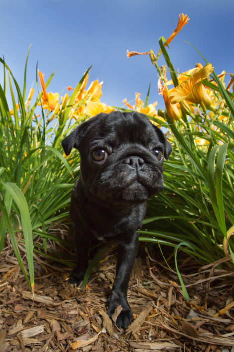 denton pet photographer, denton dog photographer, dfw pet photographer, dfw dog photographer, pug puppy, pug, pug dog, yellow lilies