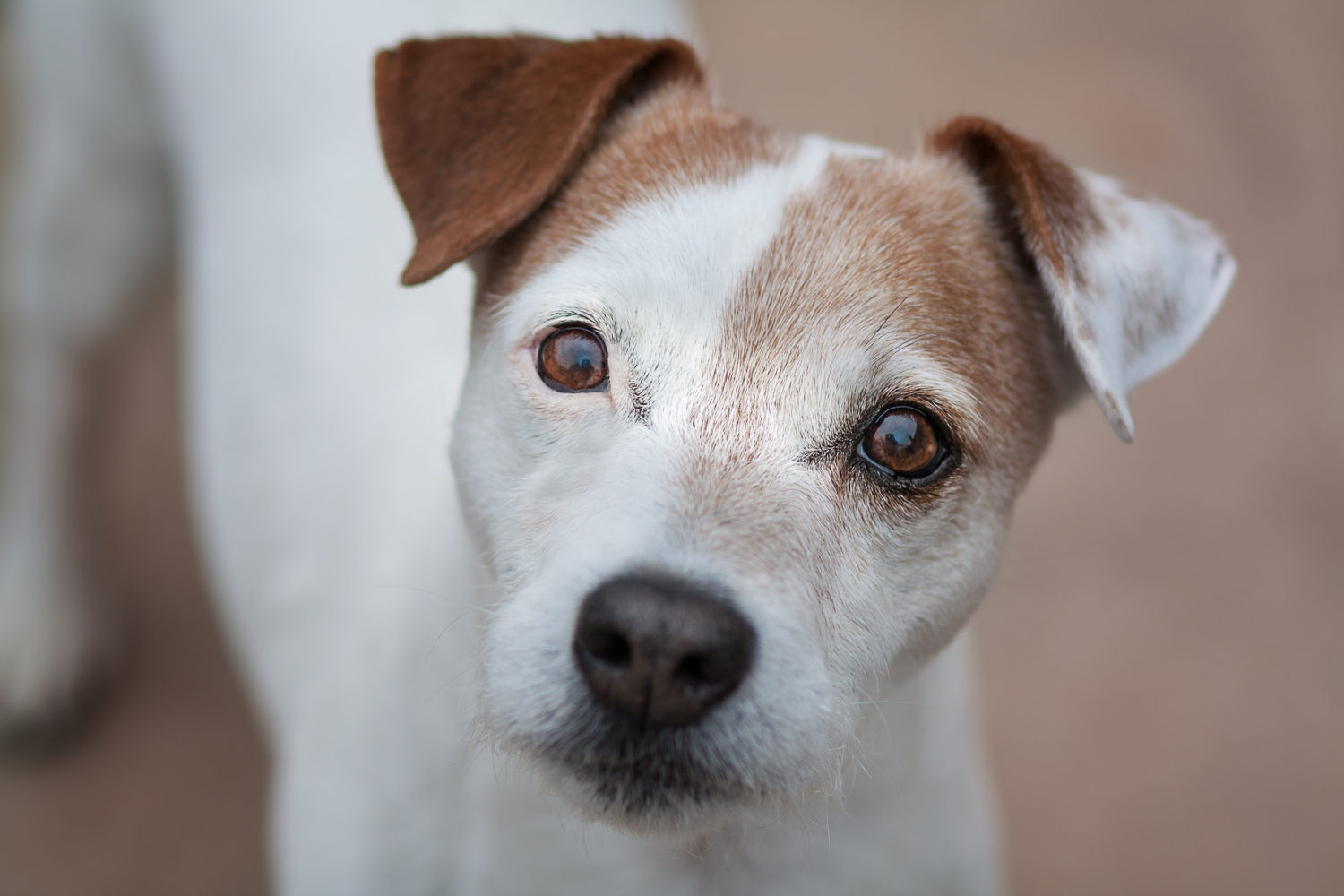 Denton Texas Pet Photographer Jack Russell Terrie