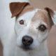 Denton Texas Pet Photographer Jack Russell Terrie