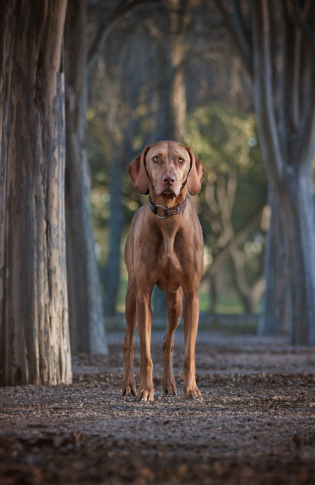Vizsla, Denton Texas Pet Photographer, DFW Pet Photographer, Denton Photographer,
