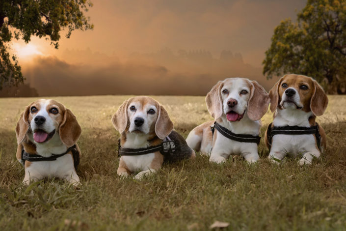 Beagles, Dog Photographer, Texas Pet Photographer, Commercial Photographer, Texas Pet Photographer